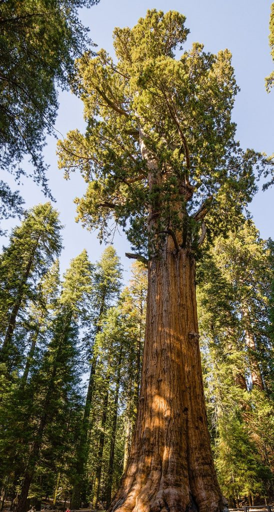 sequoia national park largest tree
