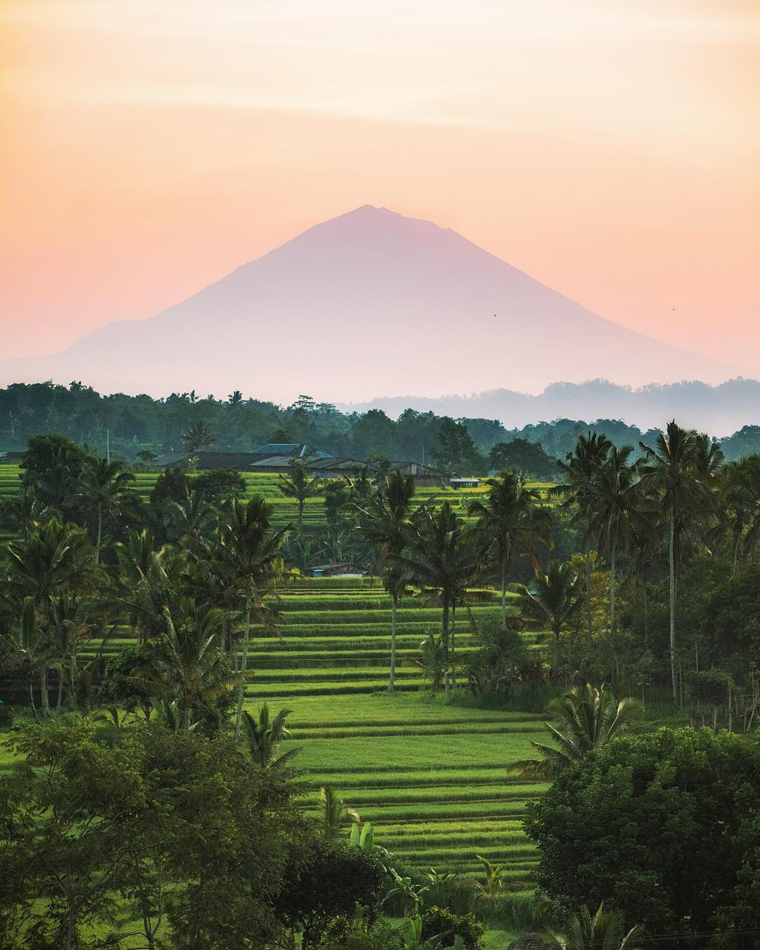 rice terrace with palm trees and a mountain