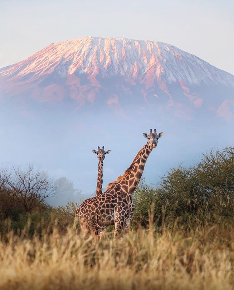 two giraffes in front of a mountain