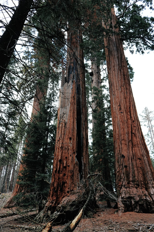 two giant sequoia trees from low angle