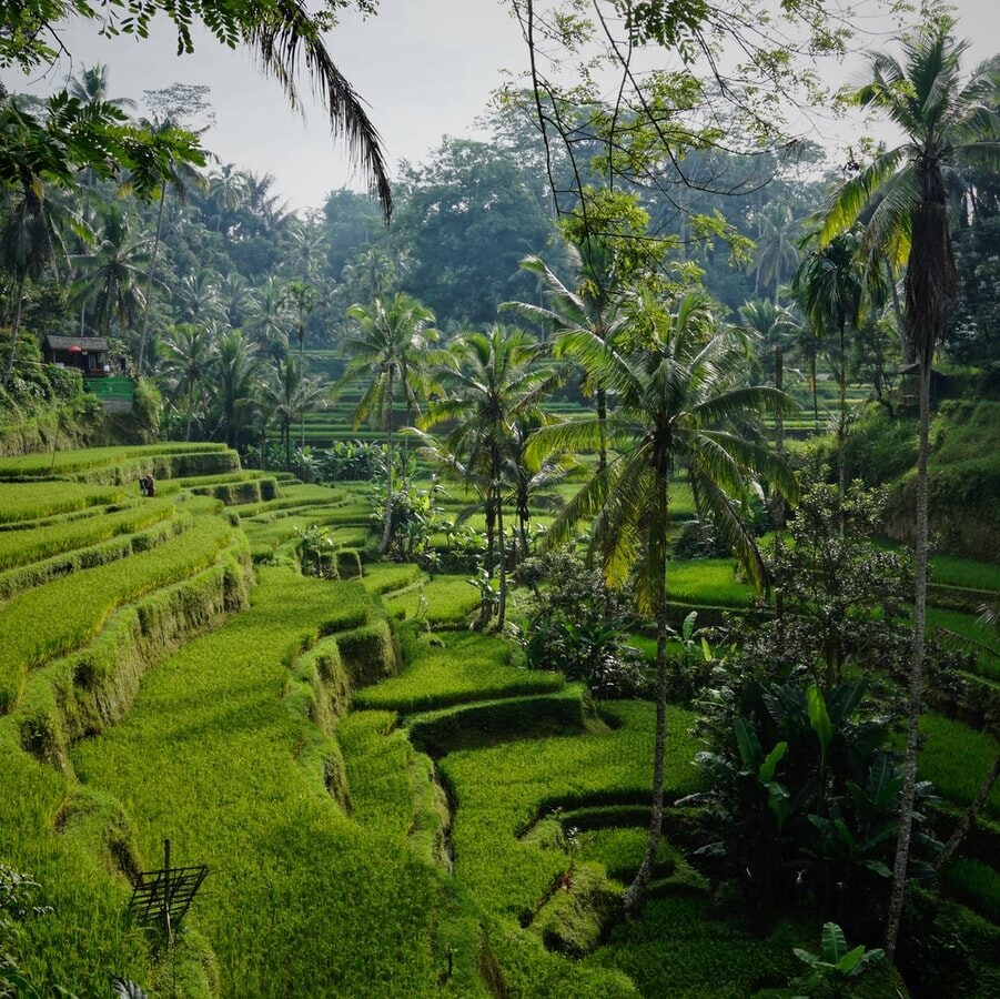 rice terrace with palm trees in the jungle of bali
