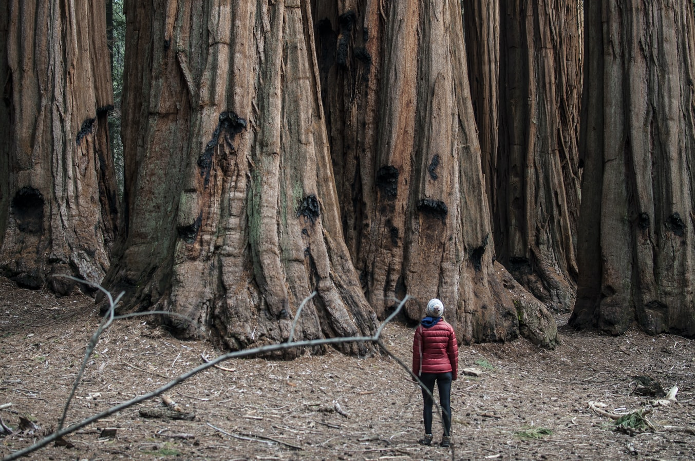 a women looking at a forest of giant sequoias