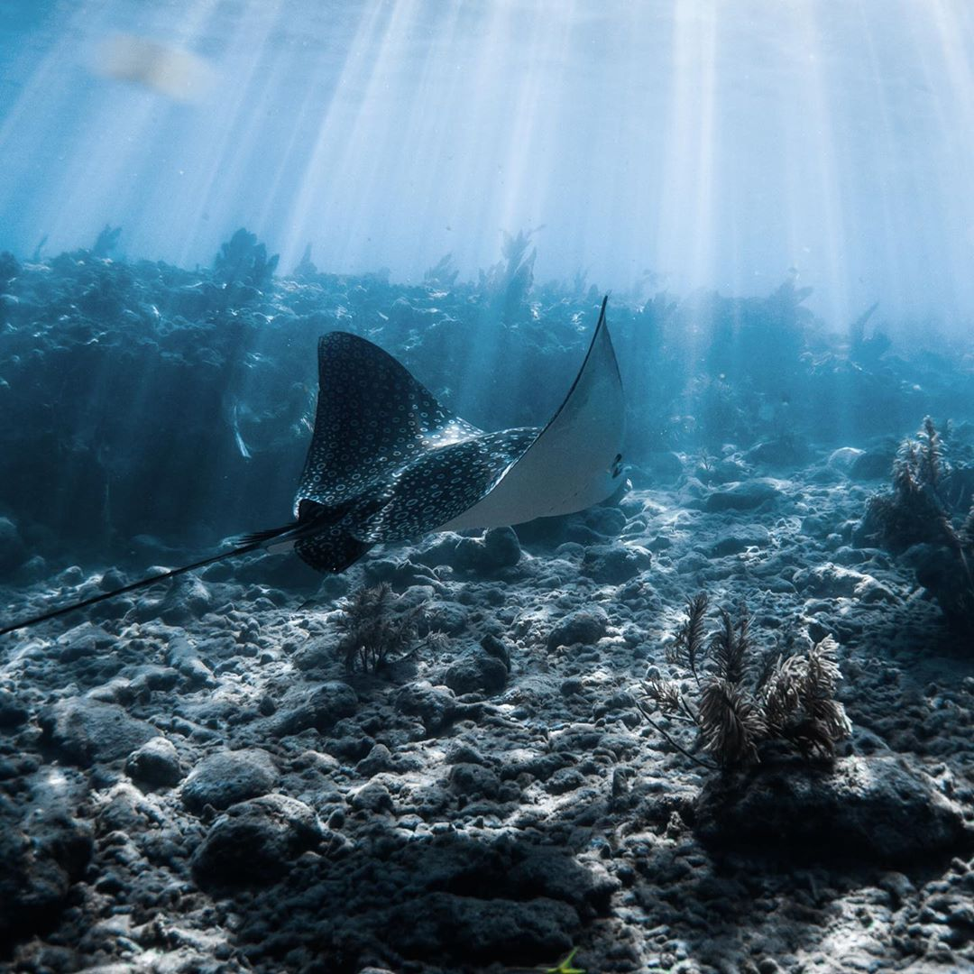 eagle ray swimming in a coral reef