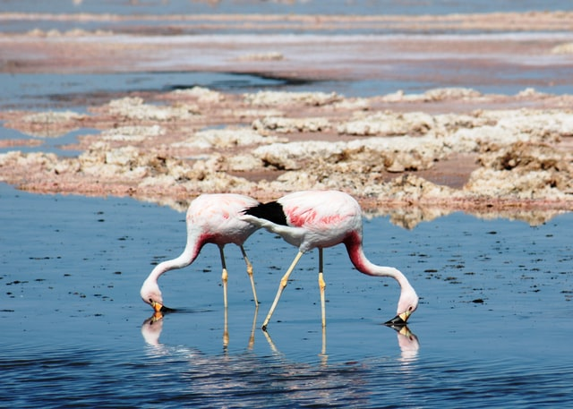 two flamingos getting food on water photo