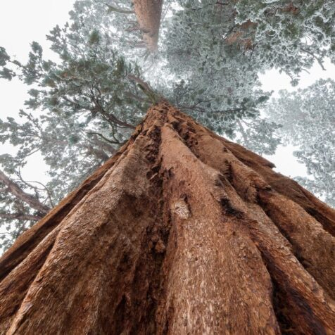 first person view of a giant sequoia from its foot