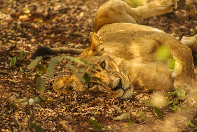 lioness lying on ground in worth nairobi national park